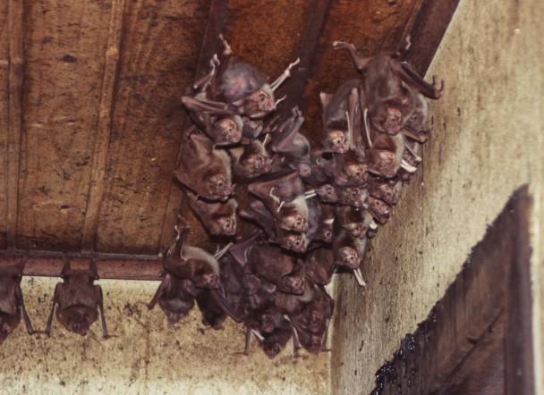 Grupo de morcegos no teto de uma casa abandonada