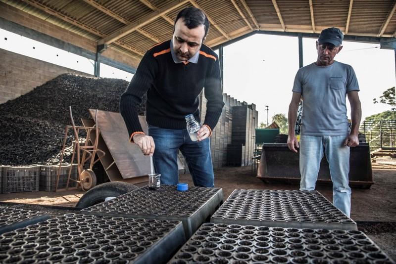 O inoculante é aplicado nas sementes da acácia que serão usadas para a produção de mudas - Foto: Fernando Dias