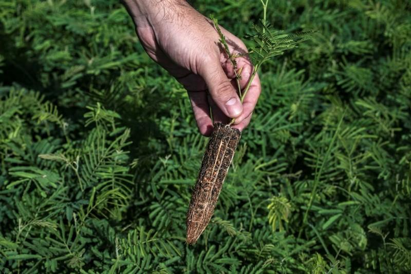 As bactérias se associam à raiz da planta e ajudam na fixação do nitrogênio, dispensando o uso de fertilizantes - Foto: Fernando Dias