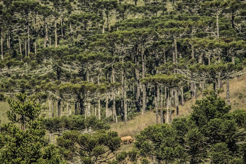 Espécie nativa, as araucárias compõem um retrato único nos Campos de Cima da Serra