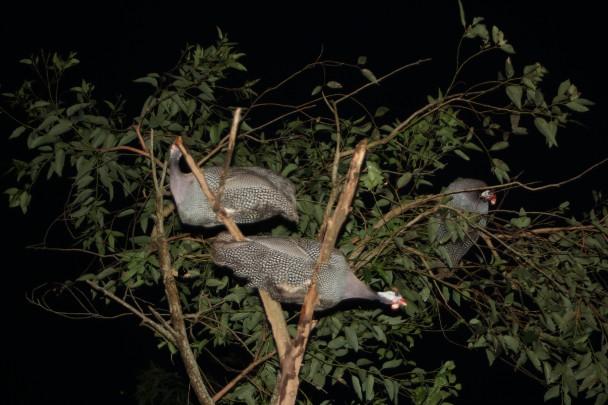 Galinhas d'angola empoleiradas numa árvore à noite
