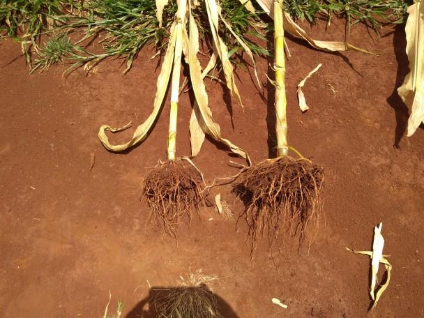 Diferença na quantidade de raízes e tamanho do caule entre as plantas inoculada e não inoculada
