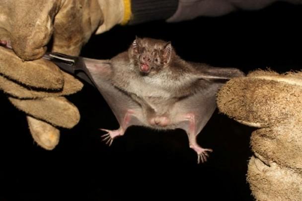 Morcego hematófago da espécie Desmodus rotundus