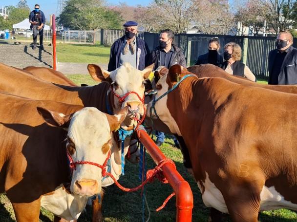 Primeiros bovinos chegam ao Parque Assis Brasil  Foto Itamar Aguiar Palácio Piratini